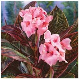 Pink Sunbrust Canna Lily Bulb