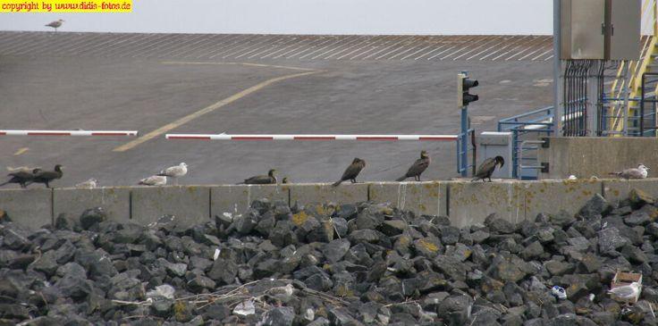 Möwen und Kormorane in Cuxhaven
