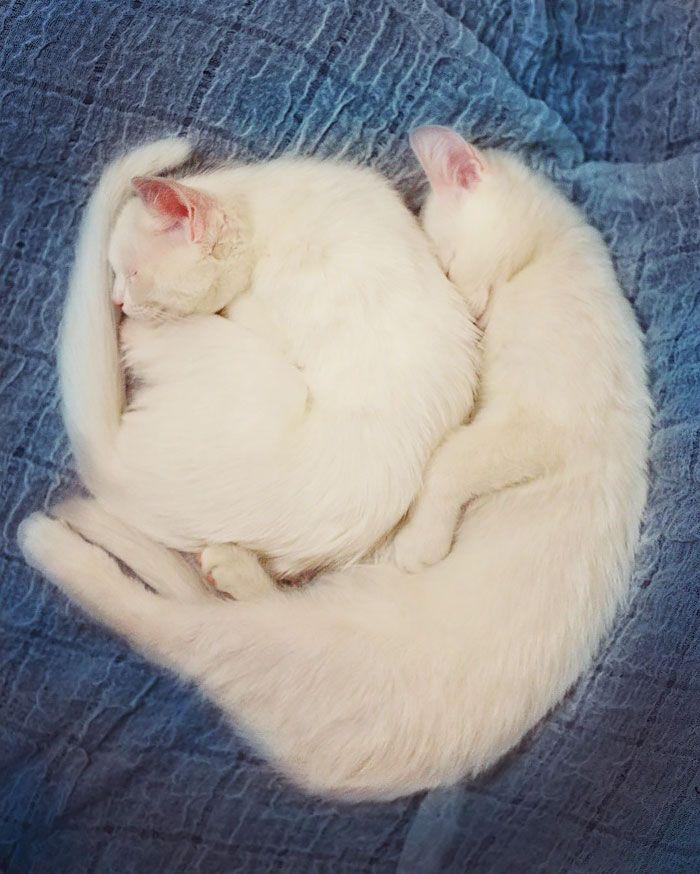 gatos-gemeos-mais-bonitos-do-mundo-11