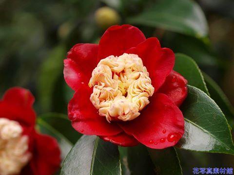 12月5日の誕生日の木は「ツバキ'ボクハン(卜伴)'」です。 ツバキ科ツバキ属の常緑中低木。ヤブツバキ(藪椿)の改良によってつくられたとみられており、江戸時代からある古典的な園芸品種です。 ボクハンは、唐子(からこ)弁という雄しべの先の葯(やく:雄しべの一部で、花粉をつくる器官)が花弁化しヘラのようになり密生した形となり、これを「唐子咲き」と呼びます。ちなみに唐子とは、江戸時代の子供の髪型で、その「唐子」に見立てたものとされています。基本は白色ですが、赤色が混ざることもあります。 ボクハンは、泉州貝塚(大阪市貝塚市)の茶人卜伴によって植えられたと伝えられる椿の品種で、貝塚寺内の領主で願泉寺住職である「卜半」の名前に由来するといわれています。学名は、「Camellia japonica 'Bokuhan' 」。京都などでは、同じくツバキの園芸品種の紅唐子の「日光(じっこう)」に対し「月光(ガッコウ)」とも呼ばれているそうです。