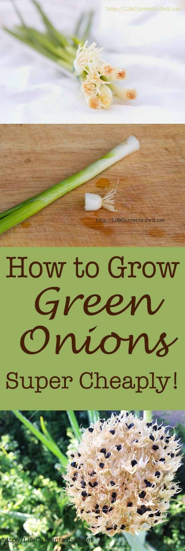 How to grow Green Onions cheaply, and what you can do with them. A free plant that gives greens, onion bulbs, and onion seeds. How cool is that!