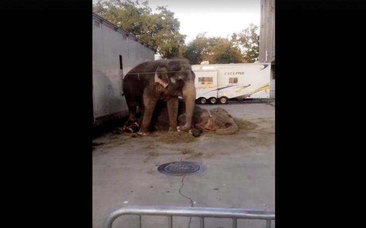 Recently, on her way to work, Ashley Giles took a short video of a circus elephant chained up, rocking back and forth, with another elephant lying down on the concrete nearby, and posted it on Facebook.