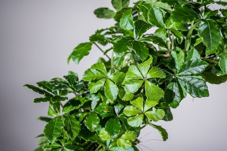 Kleine zimmerrebe zimmerpflanzen zimmerpflanzen und for Kleine badewannen gunstig
