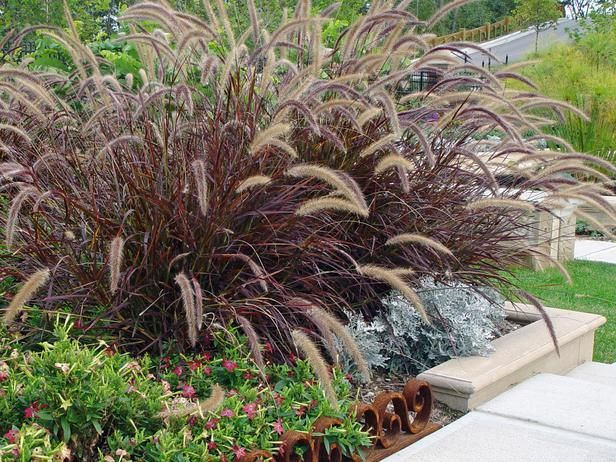 Purple fountain grass google image result for http hgtv for Ornamental grass with purple plumes