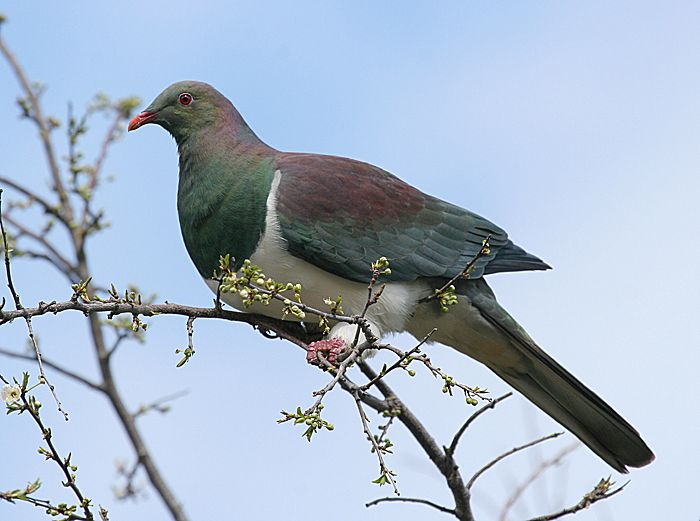 New Zealand pigeon | New Zealand Birds Online