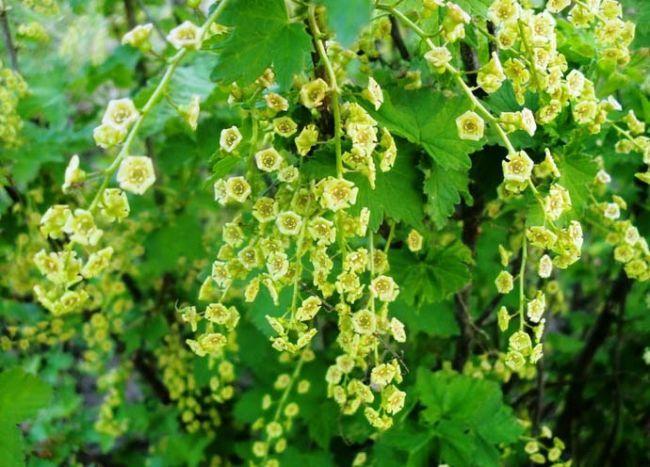 Особенностью белой смородины является хорошо сформированная корневая система, позволяющая получать одинаково хорошее плодоношение как в засушливое, так и в дождливое лето