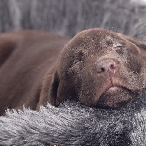 Brown lab labrador puppy choco bruine labrador Dorus