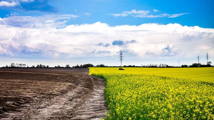 Rapeseed Field - Clouds over the rapeseed field.