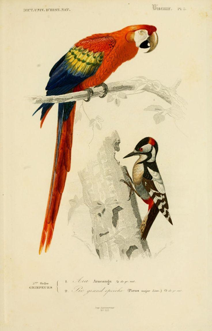 gravures couleur d 39 oiseaux gravure oiseau 0249 pic grand epeiche picus major grimpeur. Black Bedroom Furniture Sets. Home Design Ideas