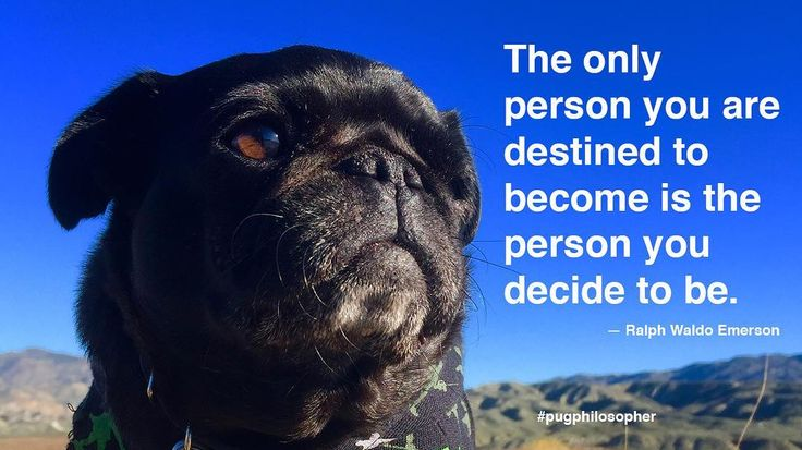 """Today's dose of pug wisdom comes to us by way of Ralph Waldo Emerson: """"The only person you are destined to become is the person you decide to be."""" #pugphilosopher #ralphwaldoemerson #nebbiequotesaquote #nursenebbie #nebulathepug #nebbie #nebbiethepug #nebulathepotbellypug #potbellypug #seniorpugsofinstagram #seniorpugsrule #rescuepugsofinstagram  #rescuepug #rescuepugsrock #adoptdontshop #spcaLA #blackpugoftheday #snugwithpug #pugsofficial #pugworld #zerozeropug #speakpug #pugbasement…"""