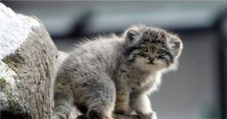 Pallas Cat: The Oldest Living Species Of Cat