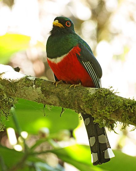 The masked trogon is a species of bird in the family Trogonidae. It is fairly common in humid highland forests in South America, mainly the Andes and tepuis. Wikipedia  Scientific name: Trogon personatus