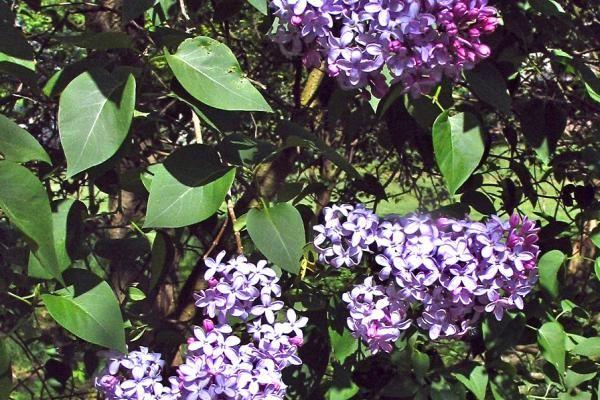Gewone sering - Syringa vulgaris    De Syringa vulgaris (gewone sering) is een zeer sterke seringensoort die al in de 16e eeuw in Midden-Europa werd ingevoerd. Door zijn schitterende lilakleurige bloemen is deze soort uitstekend geschikt als haagplant. De heerlijke geur trekt vlinders en andere insecten aan.