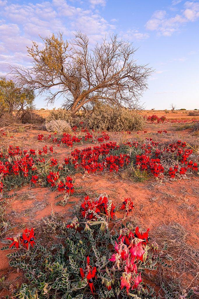 Julie Fletcher Photography - Sturt Desert Peas