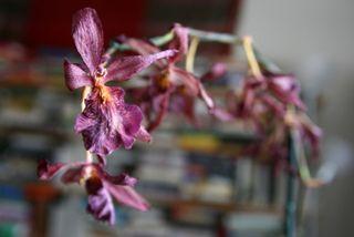 Orchidée Phalaenopsis : fleurs fanées