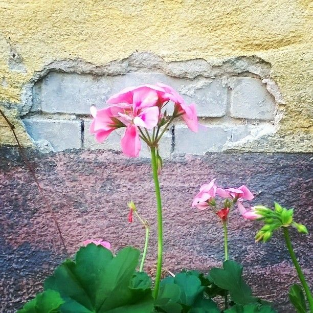 Daily cute - @wannabechef_blog #mygarden #todaysmood #happyme #flowers #garden #pink #autumn #fall #November #november #mynaturestory #my_everyday_moments #momswithcameras #simplepleasures #flower #flowers #gardening #decorations #kert #muskátli