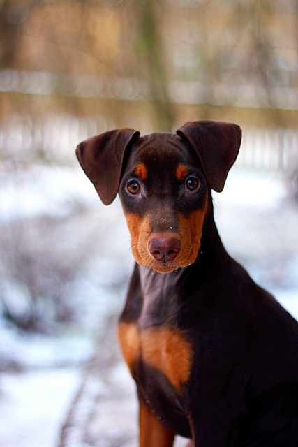 German Pinscher http://www.animalplanet.com/breed-selector/dog-breeds/working/german-pinscher.html