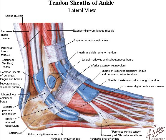 Ligaments Of The Foot Tendons In The Foot Wedding Love Foot