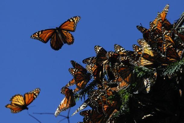 #Farfalle Monarca nel santuario delle farfalle a #Michoacan, #Messico. La specie è in pericolo