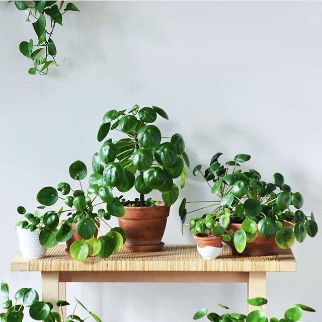 Did you know that house plants bring amazing advantages into your home and well-being? To name a few: They clean the air by removing traces of toxic vapors from inside tightly sealed buildings; They help deter illness by decreasing the incidence of dry skin colds sore throats and dry coughs; And they give an assist in breathing by increasing oxygen levels and our bodies like that.  What's your favourite houseplant?  (photo by @studioplants ) #uncaptive #plantlady