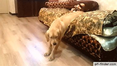The laziest Labrador in the world   Gif Finder – Find and Share funny animated gifs