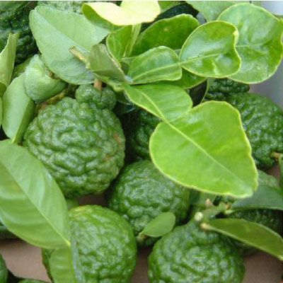 kaffir lime is also known as combava, kieffer lime, limau purut, jeruk purut or makrut lime, Kabuyao.It is a lime native to Indochinese and Malesian ecoregions in India, Laos, Indonesia, Malaysia and Thailand, and adjacent countries. It is used in Southeast Asian cuisine.The leaves can be used fresh or dried, and can be stored frozen.