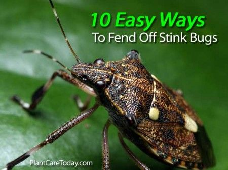 10 Easy Ways To Fend Off Stink Bugs