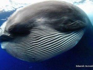 Alien-like creature is a feeding Bryde's whale | GrindTV.com