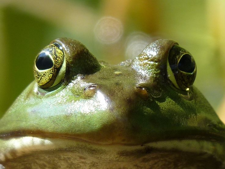 frogs | Index of /wallpaper/frogs