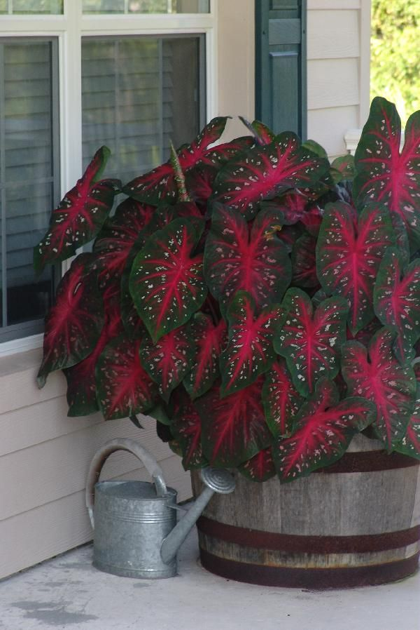 Red Flash Caladiums grown in an old oak barrel makes a great accent. Caladiums come in a variety of colors, love shade, and stick around all summer long! A perfect accent for that covered doorway or porch.