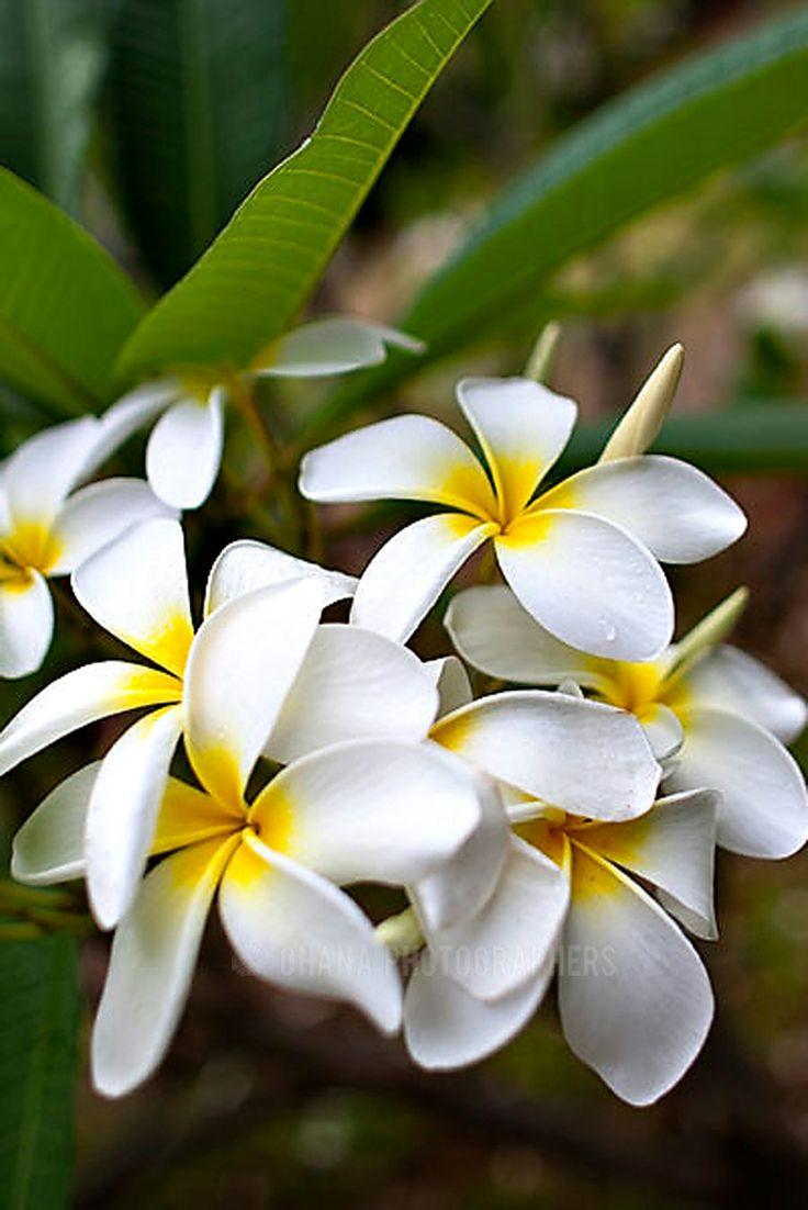 2576 Best Jasmins Plumerias Images On Pinterest Exotic Flowers