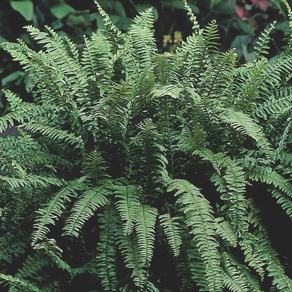 Boston Fern Indoors (Nephrolepis exaltata) info and detailed care instructions | My Garden Insider