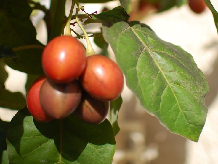 Read all about how to grow the exotic tamarillo at home in a planter pot by your back door.