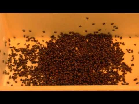 Ladybugs For Bugs, How to add ladybirds to your indoor grow room