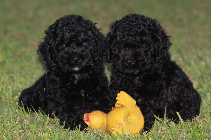 Image detail for -Cockapoo Puppies For Sale!