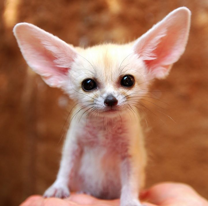 "The Fennec Fox ...""I am all ears""- ...The fennec fox or fennec is a small nocturnal animal found in the Sahara of North Africa.  It's known for its unusually large ears which it uses to release heat and keep cool (since it's hot in the desert). Though smallest out of all the foxes in the world, its ears are the largest relative to body size."