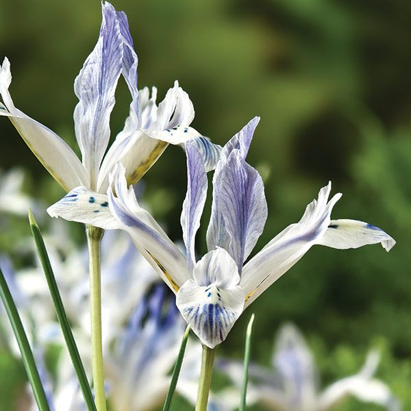 Buy iris bulbs Iris 'Painted Lady (Reticulata)': Delivery by Crocus