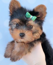 Teacup Puppies For Sale at TeaCups, Puppies and Boutique