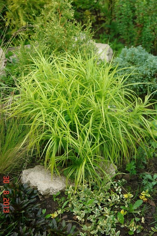 239 best Grasses images on Pinterest Ornamental grasses - carex bronze reflection
