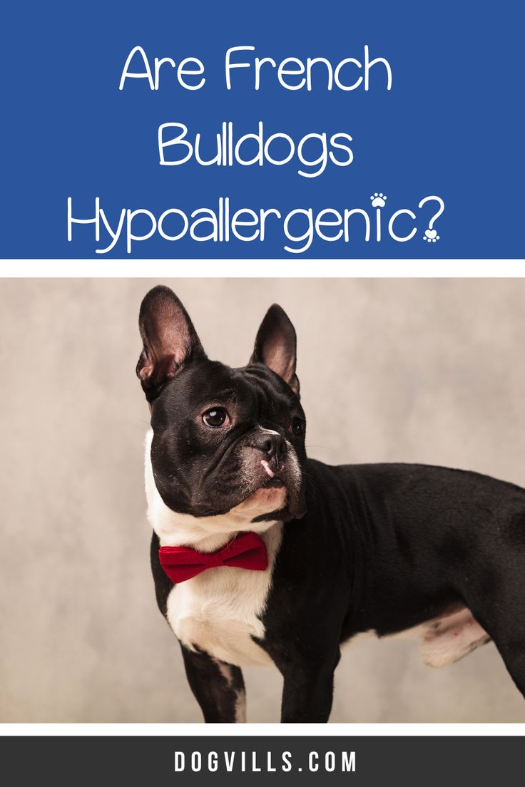 Are french bulldogs hypoallergenic dogs dogvills in