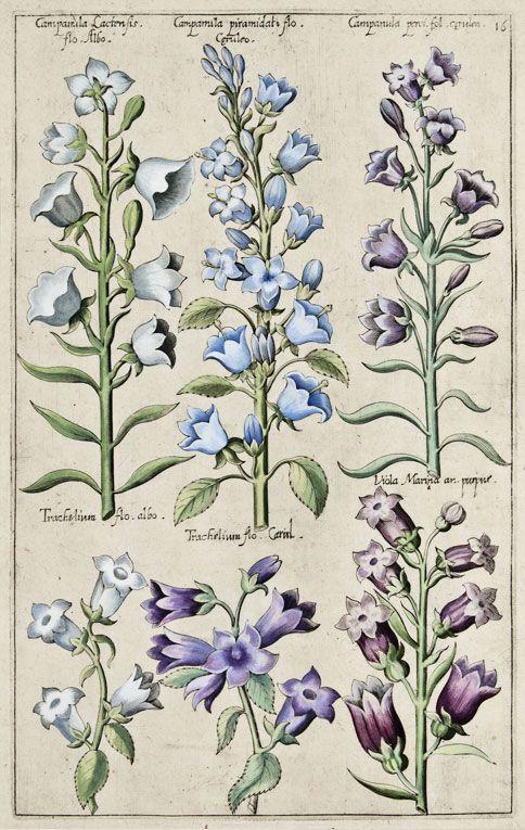 """Campamilas by Emanuel Sweert from """"Florilegium Amplissimum et Selectissimum"""", Frankfurt-am-Main, 1612."""
