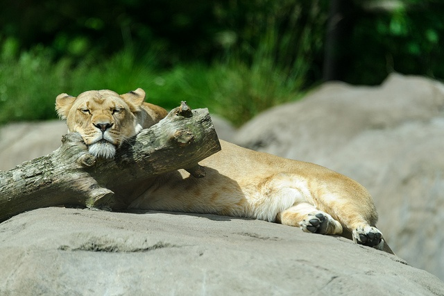 Lioness Resting Her Head, via Flickr.