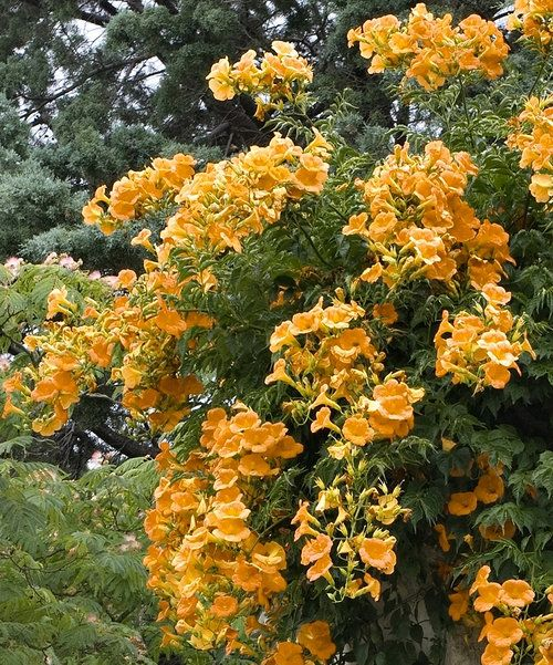 Look at this Live 'Summer Jazz Gold' Campsis Plant - Set of Two on #zulily today!