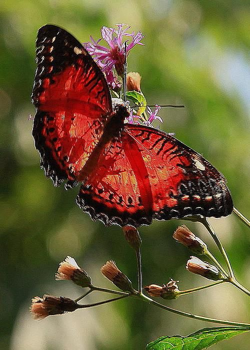 Butterfly On Gayfeather Blossoms by Walter Burke