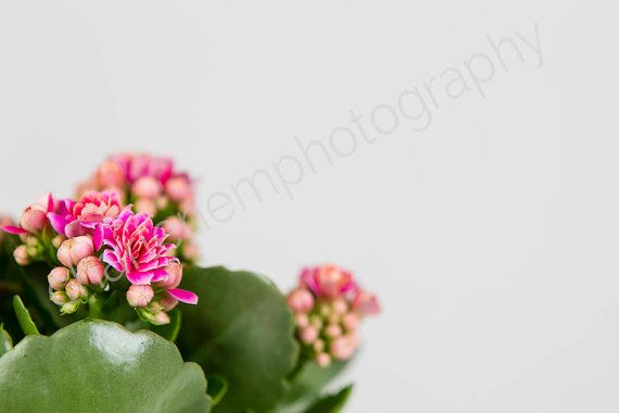 Pink Flower / Potted Plant / Flower / by charlenemphotography