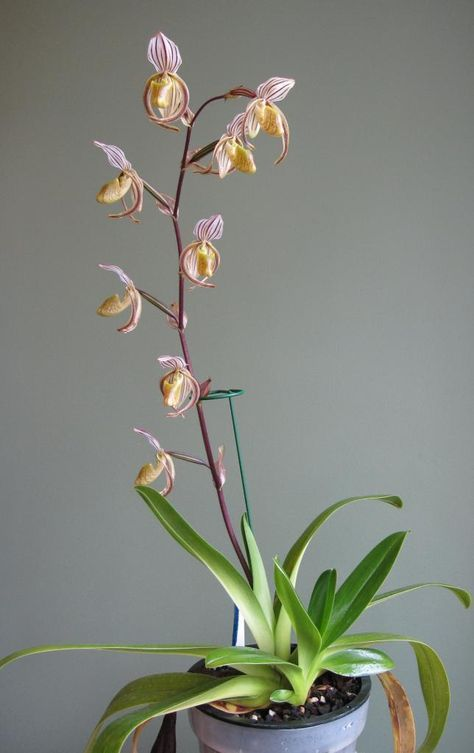 Paphiopedilum randsii – Chang Seob