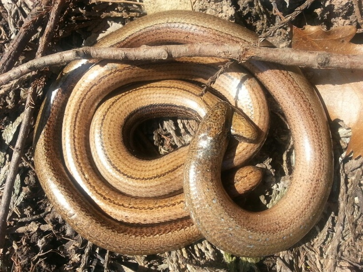 Slow worm love in my garden.