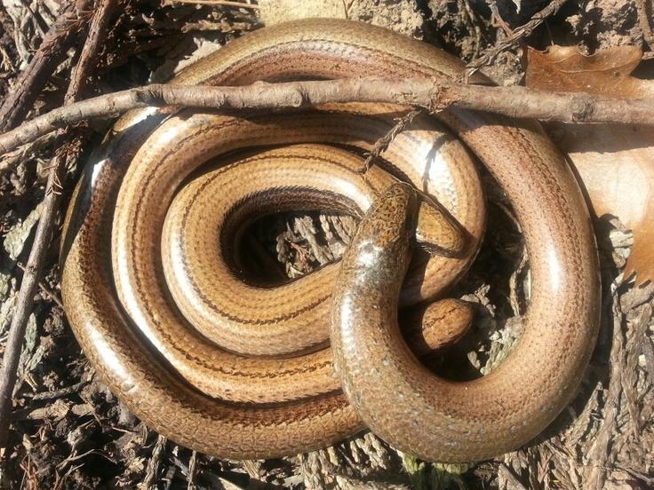 Slow worm love in my garden.