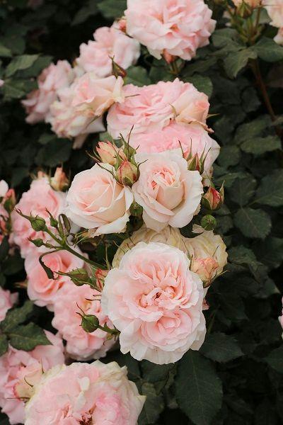 Большой Сеульский парк (Seoul Grand Park) Розовый сад.