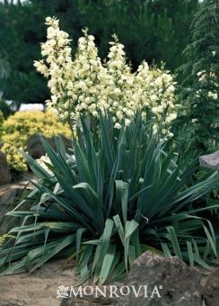 Adams Needle Yucca filamentosa: The best of the yuccas for low maintenance, drought resistant landscaping. Develops a dense rosette of dark green leaves with a distinctive blue cast. Flowers in summer with grand spires of fragrant snow white bells. Suited to containers. Evergreen.